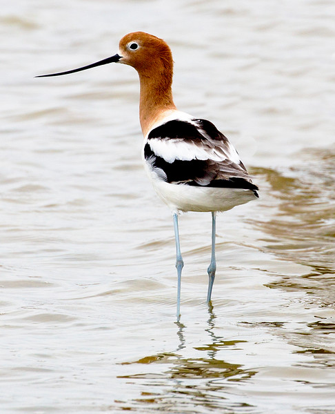 Lone male Avocet.
