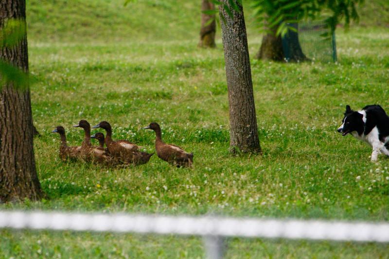 Ducks-0446