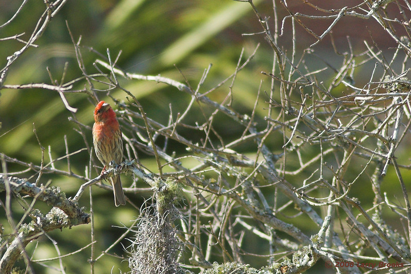 A puzzled House Finch on Cumberland Island NS