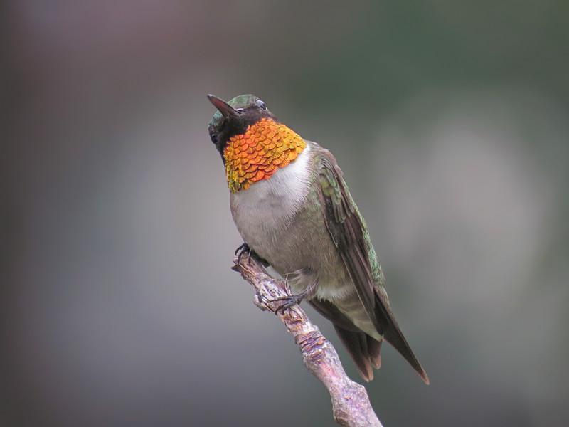 sx50_hummingbird_boas_022.jpg