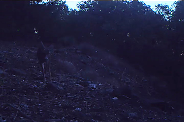 Mule Deer Buck 525 AM.AVI