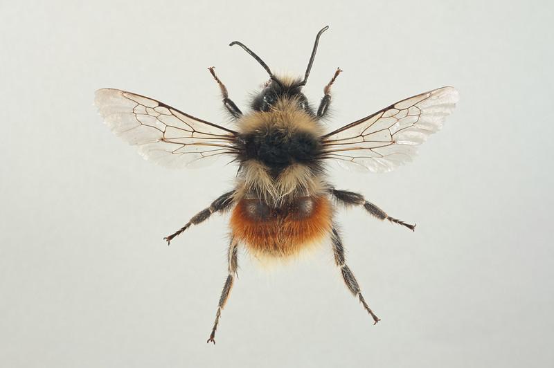 Bombus lapponicus -hann