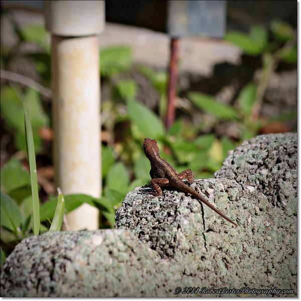 2014-06-06_IMG_0798__Anole Lizard,Clearwater,Fl..JPG