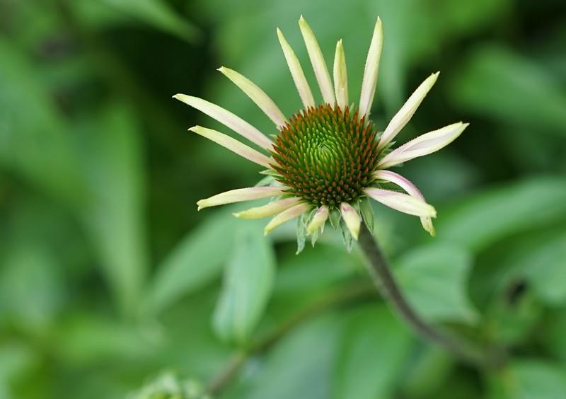 Yellow Echinacea Card $4