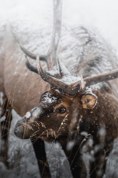 Snowy Elk Portrait