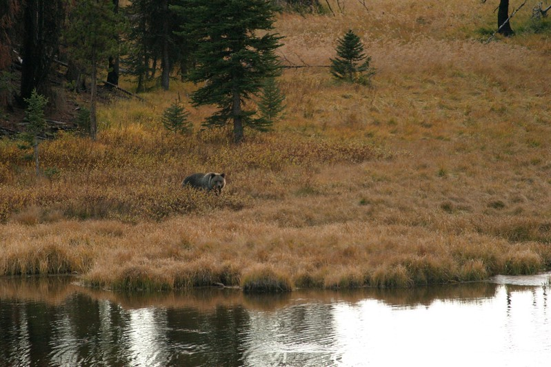 This wary silver-tipped Grizzly took several hours to work his way in to an elk carcass floating in this pond; Unfortunately there was little light left for photography by the time he got close enough!  [October; Yellowstone National Park, Wyoming]