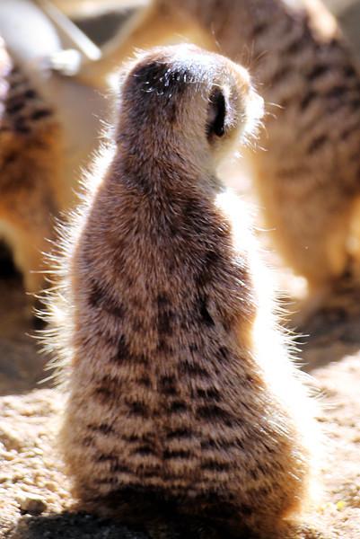 meerkat glow.jpg