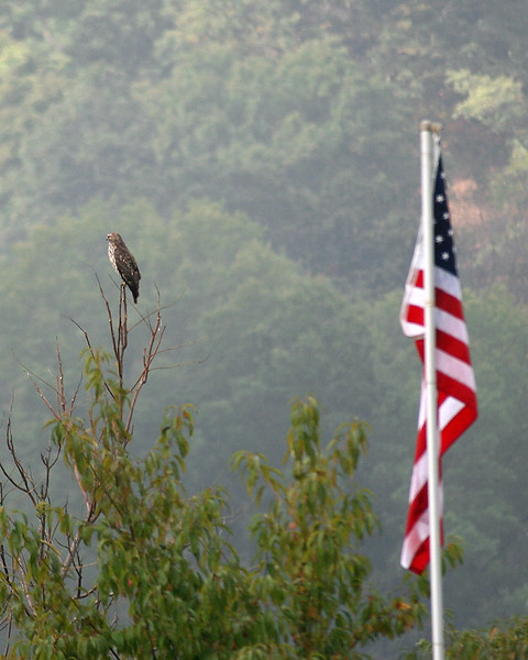 Large hawk along the canal