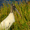 Wood Stork - Green Cay Wetlands - October 2012