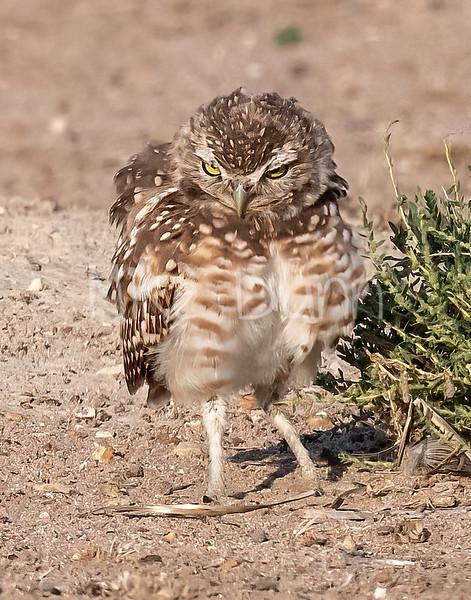 Burrowing Owl 21-72