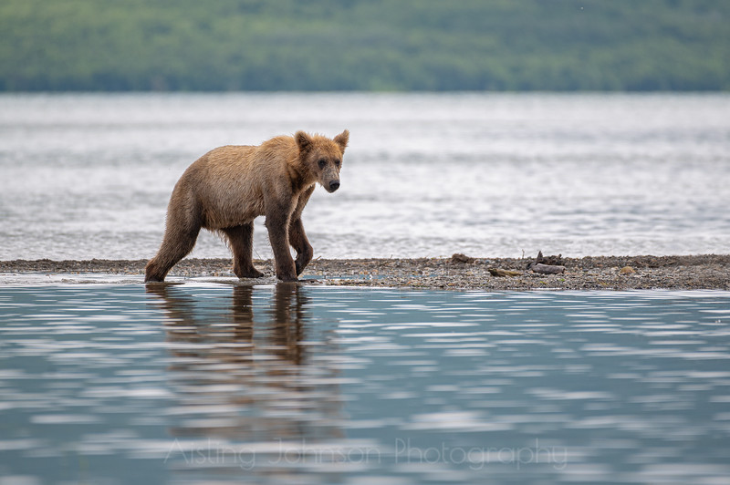 Juvenile brown bear walking the beach, Katmai National Park and Preserve, Alaska