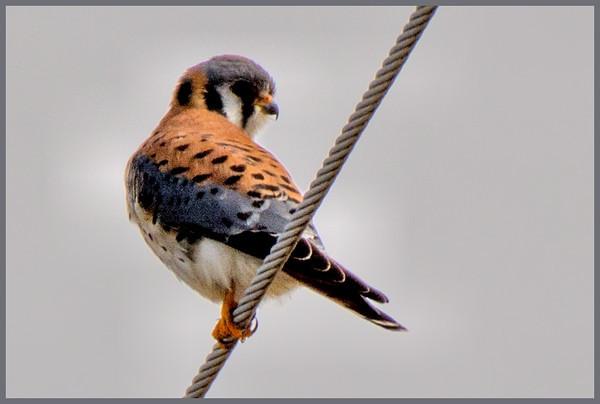 Kestrel (American) Falco sparverius