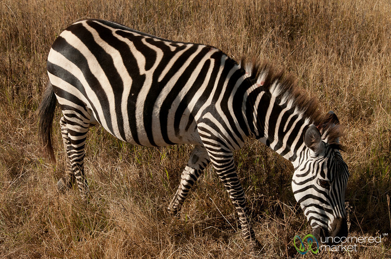 Zebra Near our Jeep - Ngorongoro Crater, Tanzania