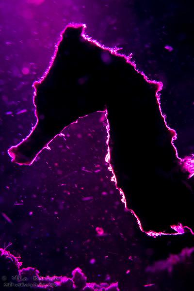 seahorse prpl (1 of 1).jpg