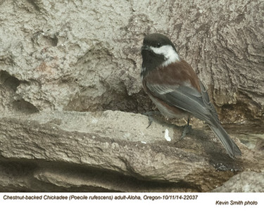 Chestnut-backed Chickadee 22037.jpg