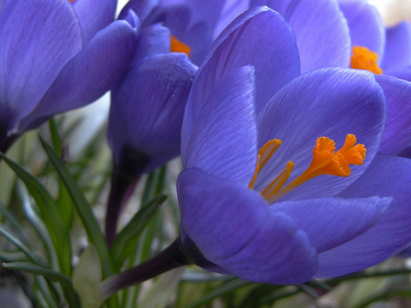 Crocus Sightings