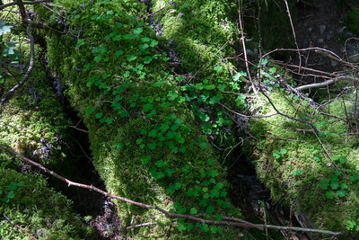 Oxalidaceae Harsyreväxter