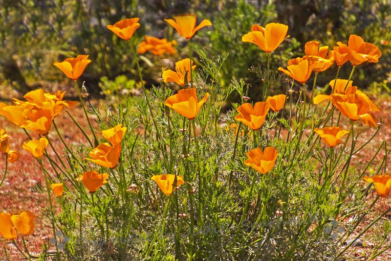 California Poppies - Judith Sparhawk
