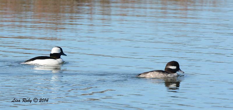 Pair of Bufflehead - 11/28/2014 - San Elijo Lagoon, Rios