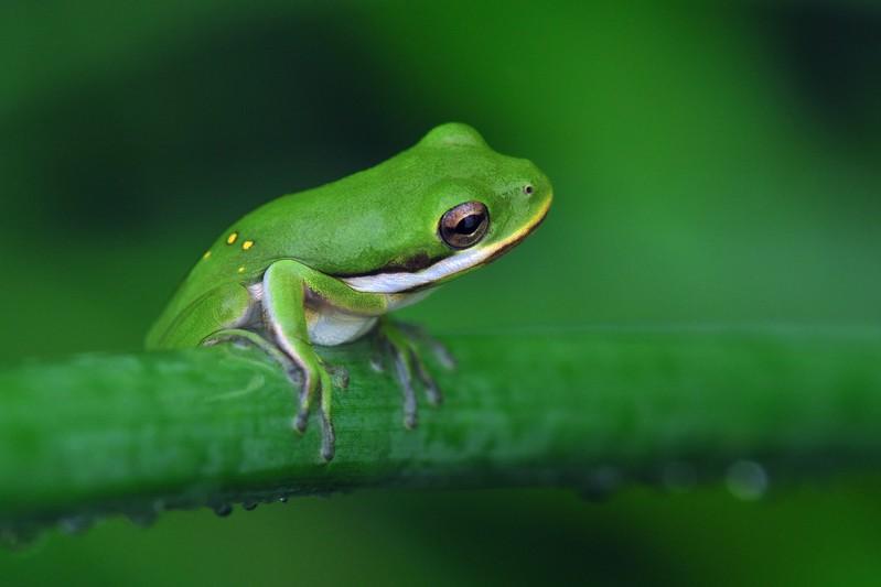 American Green Tree Frog  .jpg