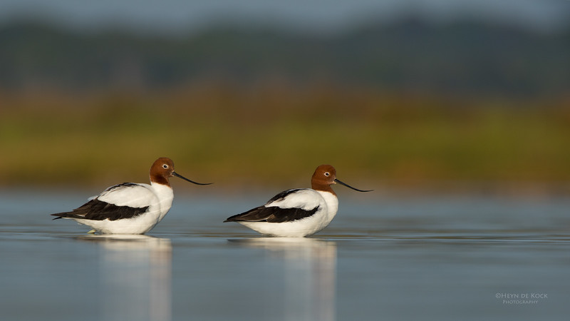 Red-necked Avocet, Lake Wollumboola, NSW, Nov 2014-8.jpg