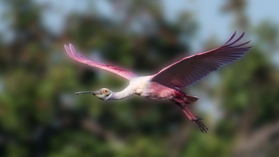 Spoonbill returning to the island.