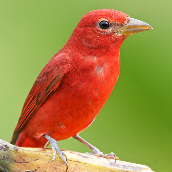 Summer tanager.