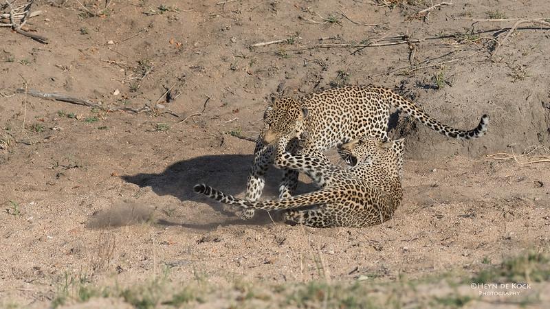 Leopard (Salayexe & Tiyane), Sabi Sands (EP), SA, Oct 2016-5.jpg