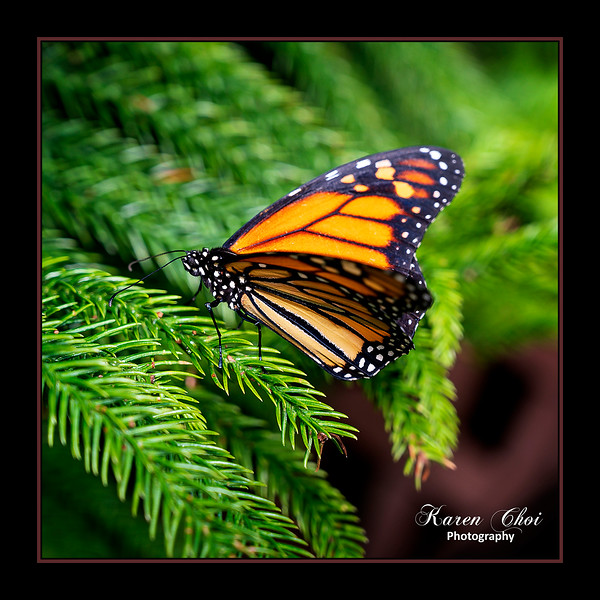 sm Orange and Black butterfly.jpg