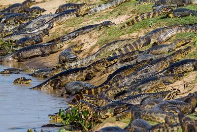 Caiman, Pantanal