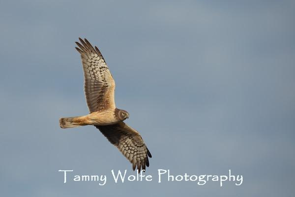 Hawk, Northern Harrier