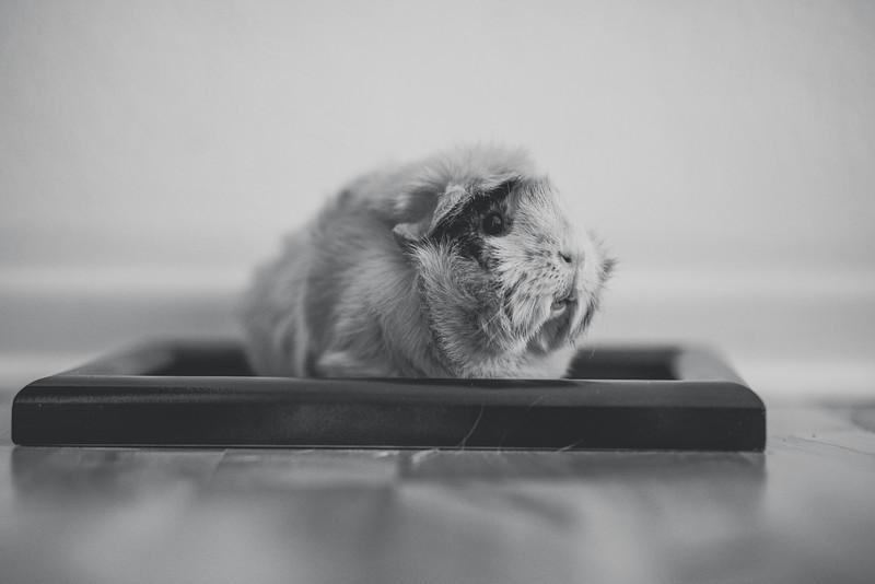 Ginea Pigs-22.jpg