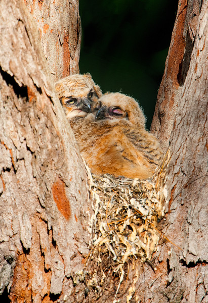Great Horned Owl Chicks