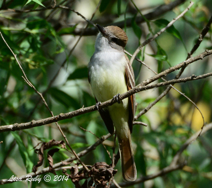 Ash-throated Flycatcher -- 5/4/2014 - Mission Trails Regional Park