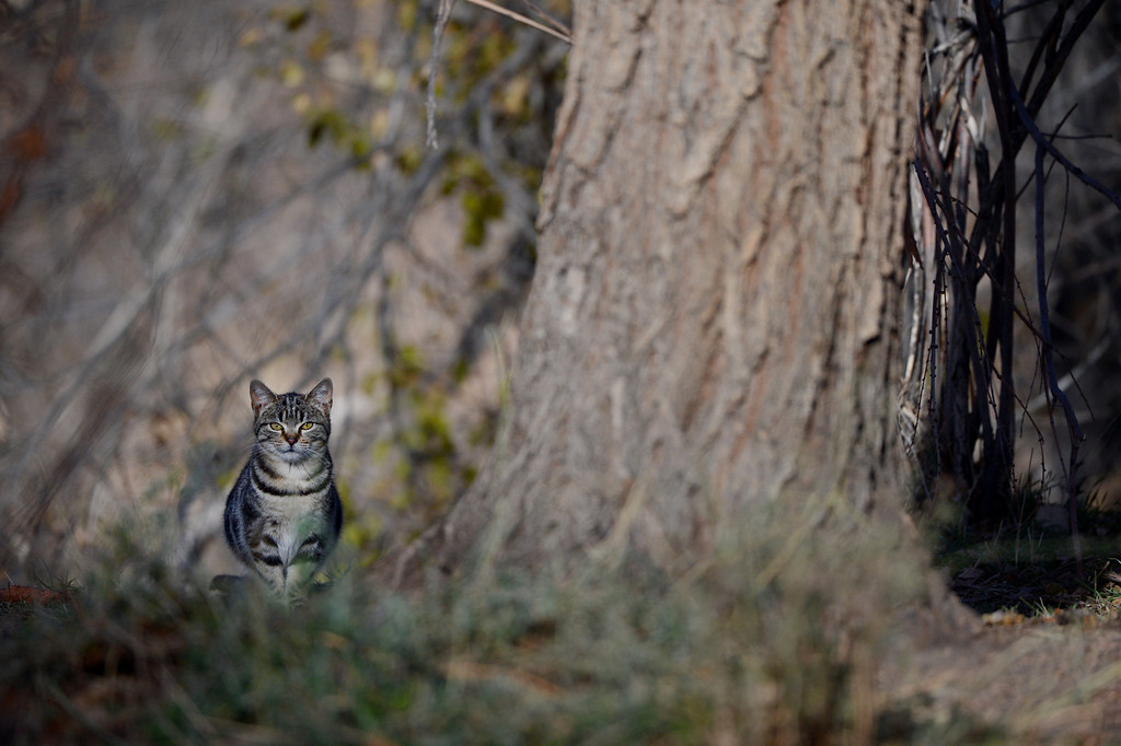 . A cat sits along South Platte River Dr., where a colony of feral cats is living in Denver, CO, Friday December 07, 2012. Craig F. Walker, The Denver Post