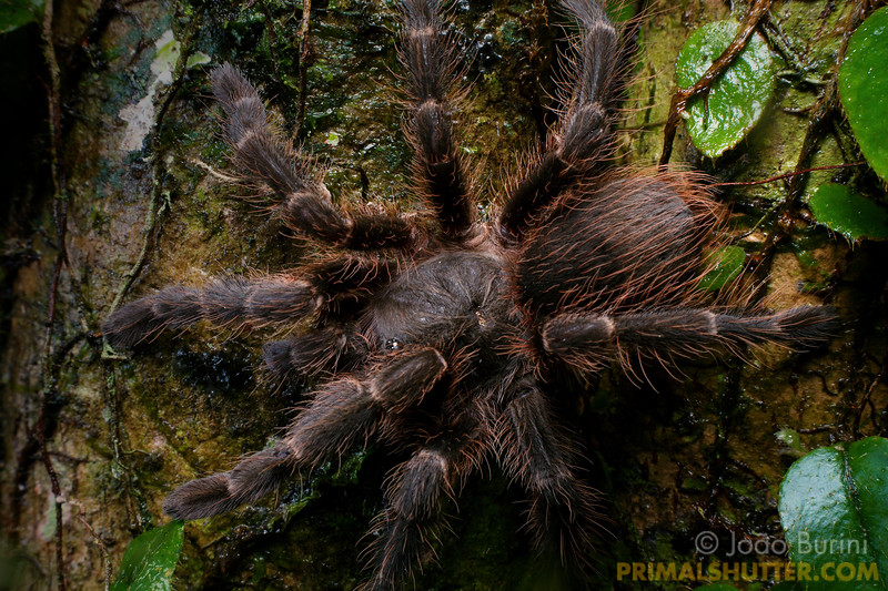 Dorsal view of a small red haired tarantula
