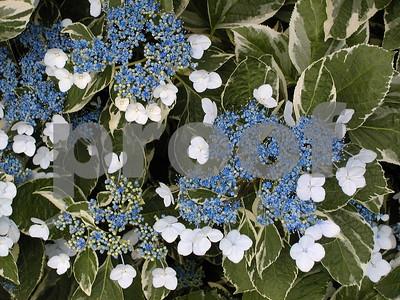 as-azalea-season-passes-try-hydrangeas-for-lat-spring-color