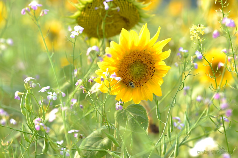 Sunflower Lonay_20092020 (27).JPG
