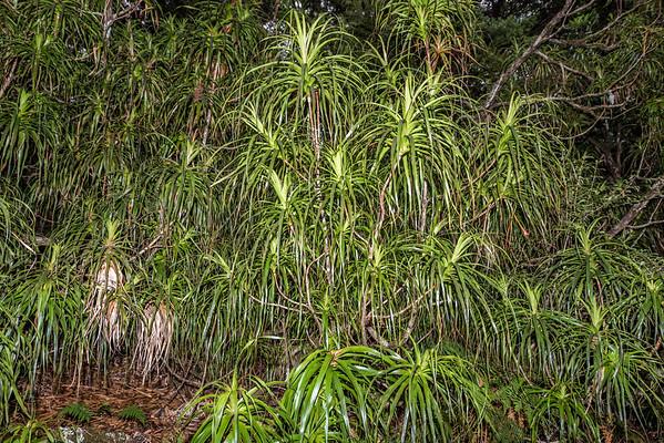 Needle-leaved neinei - Dracophyllum latifolium