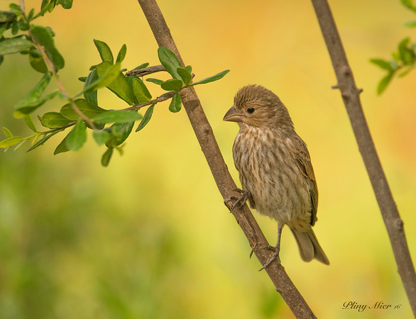 "House Finch ""female"""
