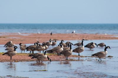 PEI Geese on the Seashore
