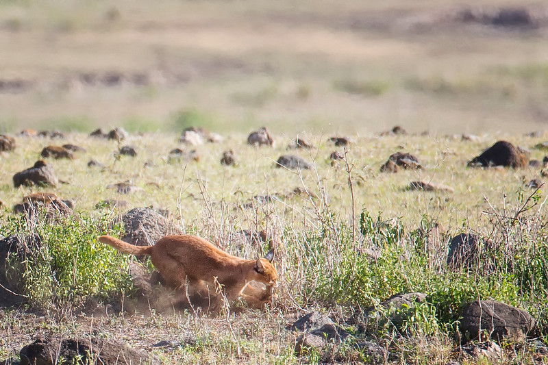 Caracal catching a Spring Hare Ngorongoro