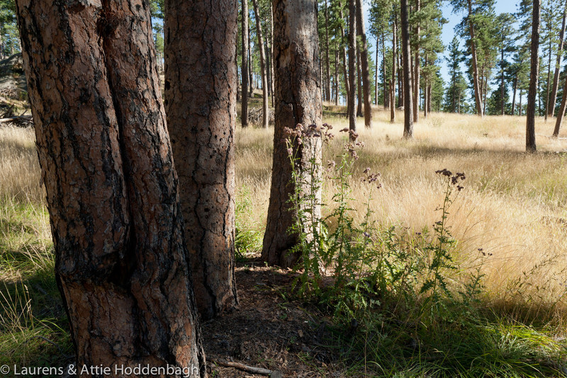 Blondisch Grass in the forest in Black Hills, Route 26A