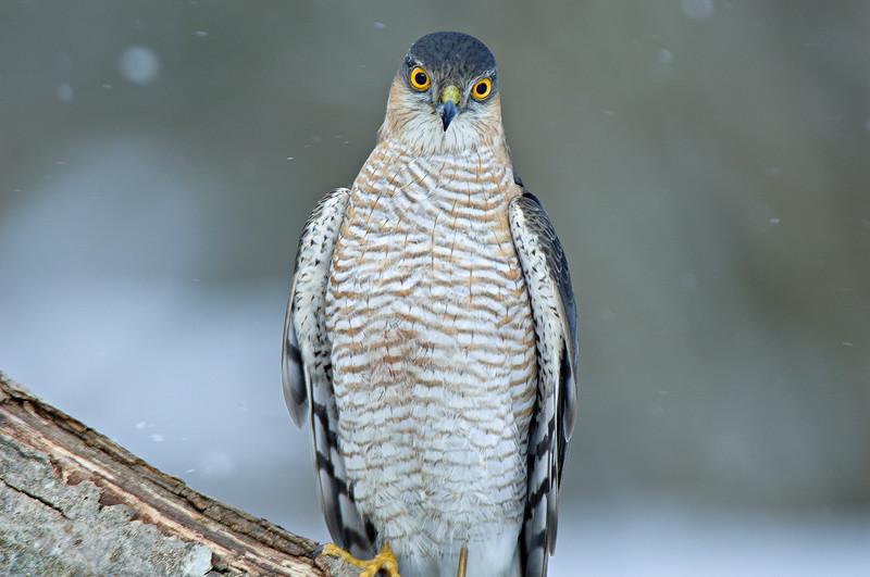 Sparrowhawk , Sparvhök