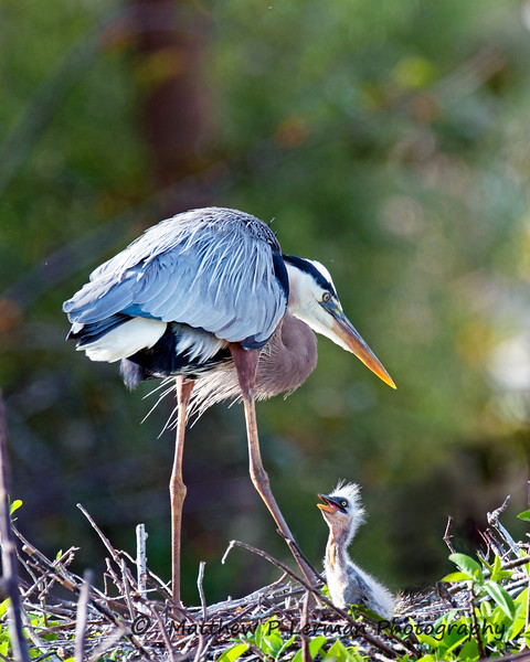Great Blue Heron with hungry chick   #109