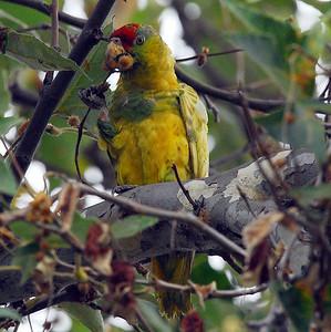 Hybrid or Abberent Amazon Parrot