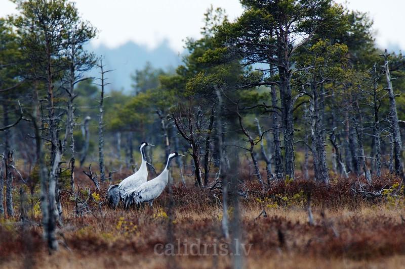 Common Cranes walk in Great Kemeri Marsh among burned down trees