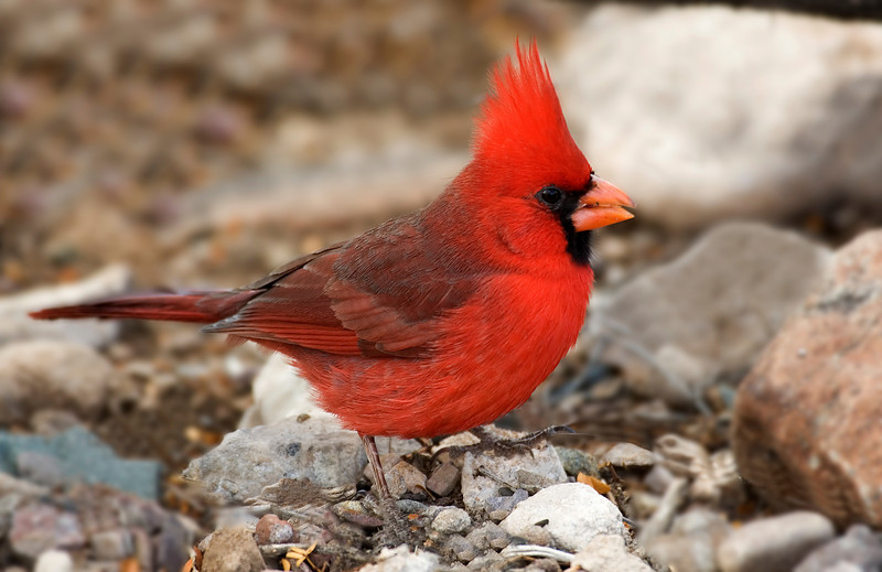 Northern Cardinal .jpg