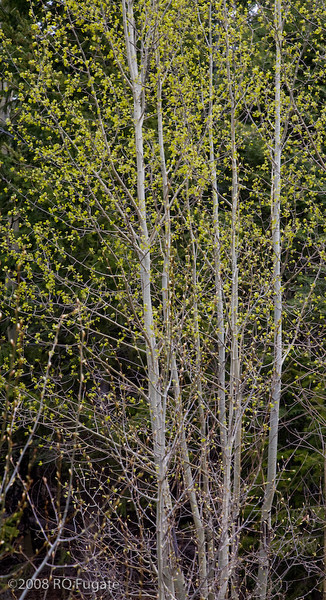 Aspen trees in the mountains above Tent Rocks