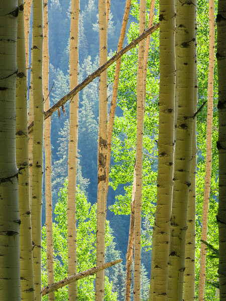 'The Trees Have Eyes' - Ohio Pass, Colorado